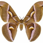 24606799-ailanthus-silkmoth-butterfly-samia-cynthia-isolated-on-white-background-used-to-produce-silk-fabric